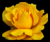 YELLOW ROSE-44X36